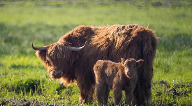 Koniki Polskie i kudłate krowy